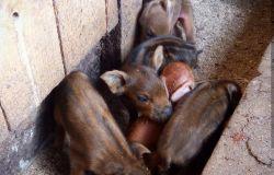 Продажа поросят и свиней